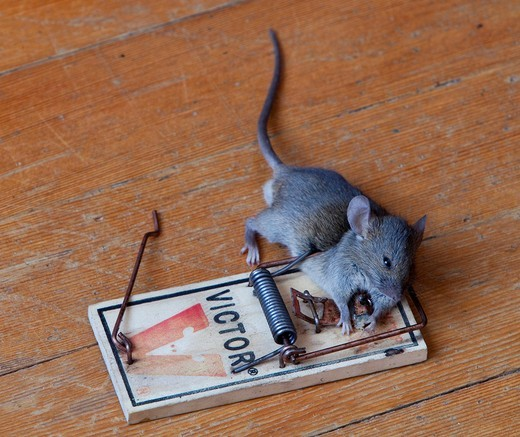 Common house mouse Mus musculus in trap, dead, caught : Stock Photo