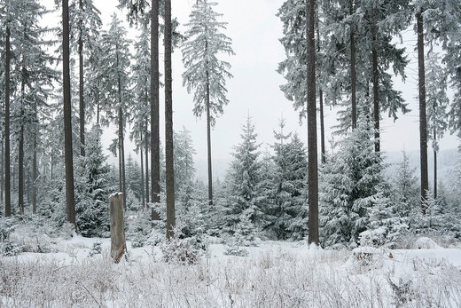Stock Photo: 1848R-509524 Winter forest in the Taunus, Hochtaunus Nature Reserve, Hesse, Germany, Europe