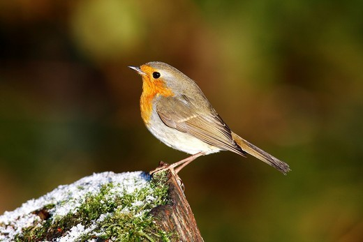 Robin Erithacus rubecula on a tree trunk in winter : Stock Photo