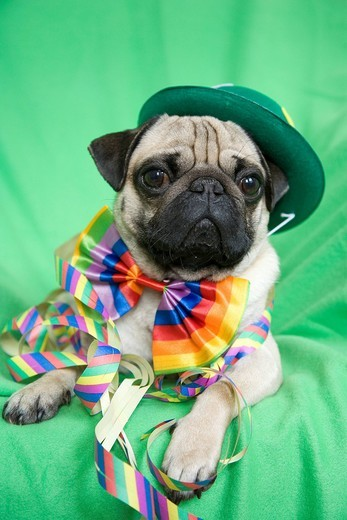 Stock Photo: 1848R-509978 Young pug with a green hat, a colorful bow tie and streamers