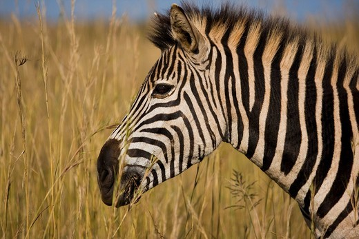 Plains Zebra Equus quagga, Ithala National Park, South Africa, Africa : Stock Photo