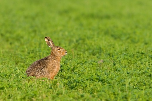 Hare Lepus europaeus, Apetlon, Burgenland, Austria, Europe : Stock Photo