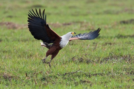 African Fish Eagle Haliaeetus vocifer, Chobe National Park, Botswana, Africa : Stock Photo