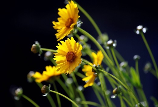 Stock Photo: 1848R-510342 Daisy flowers