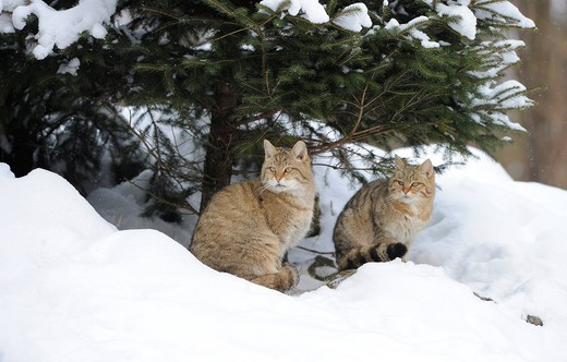 Wildcat Felis silvestris, juveniles in winter in front of den : Stock Photo