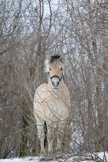 Stock Photo: 1848R-510819 Norwegian, Fjord horse, stallion, 2 years
