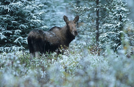Moose cow Alces alces in the snow, Alberta, Canada : Stock Photo