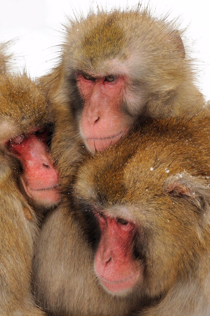 Stock Photo: 1848R-511462 Japanese macaques Macaca fuscata in winter