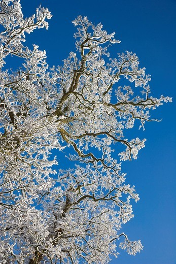 Stock Photo: 1848R-511826 Snow covered bare tree branches