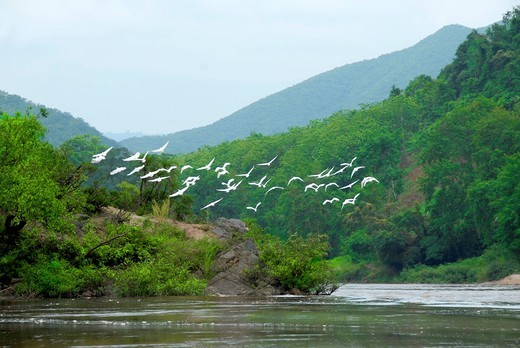 Nature, bird migration over the Nam Ou River, white herons Ardeidae, Samphan district, Phongsali province, Laos, Southeast Asia, Asia : Stock Photo
