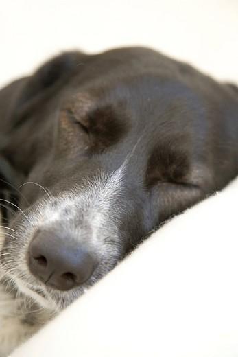 Crossbreed dog, female, dozing : Stock Photo
