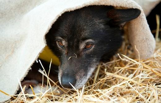 Stock Photo: 1848R-512437 Portrait of resting sled dog, Alaskan Husky, straw, blanket, Dawson City, Yukon Quest 1, 000_mile International Sled Dog Race 2010, Yukon Territory, Canada