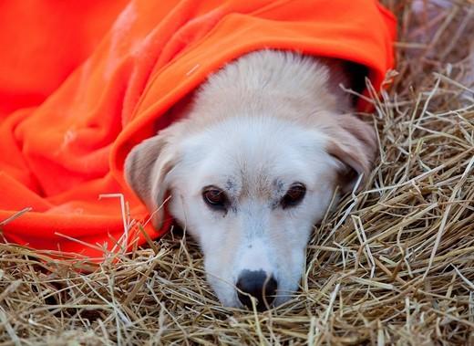 Resting sled dog, Alaskan Husky, straw, blanket, Dawson City, Yukon Quest 1, 000_mile International Sled Dog Race 2010, Yukon Territory, Canada : Stock Photo