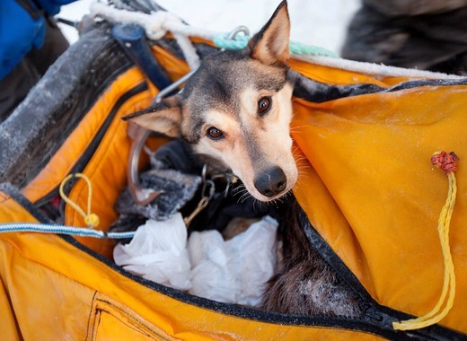Stock Photo: 1848R-512441 Injured or tired sled dog transported in basket, sled bag, Alaskan Husky, Dawson City, Yukon Quest 1, 000_mile International Sled Dog Race 2010, Yukon Territory, Canada
