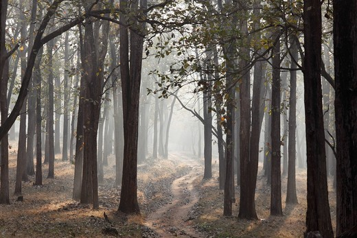 Morning mist and dirt road in the woods, Rajiv Gandhi National Park, Nagarhole National Park, Karnataka, South India, India, South Asia, Asia : Stock Photo