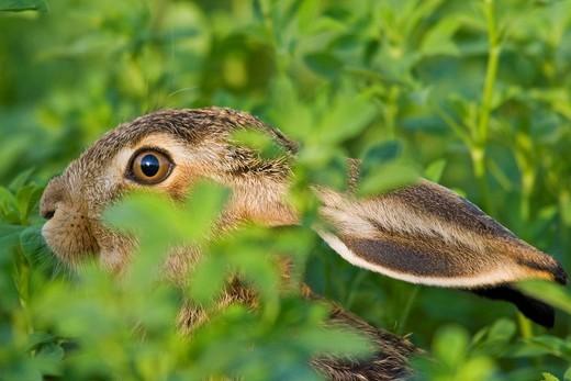 Hare Lepus europaeus, Apetlon, Burgenland, Austria, Europe : Stock Photo