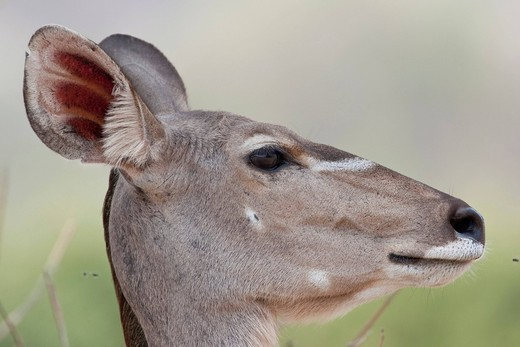 Stock Photo: 1848R-513252 Greater Kudu Tragelaphus strepsiceros, Chobe National Park, Botswana, Africa