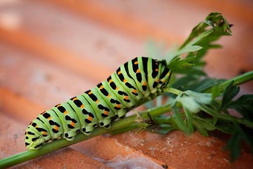 Stock Photo: 1848R-513343 Old World Swallowtail Papilio machaon, caterpillar
