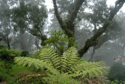 Jungle, cloud forest, fog, big ferns and ancient moss_covered trees moss in the forest, mountain Gunung Abang, Bali, Indonesia, Southeast Asia, Asia : Stock Photo