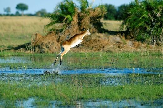 Lechwe or Southern Lechwe Kobus leche, Okavango Delta, Botswana, Africa : Stock Photo