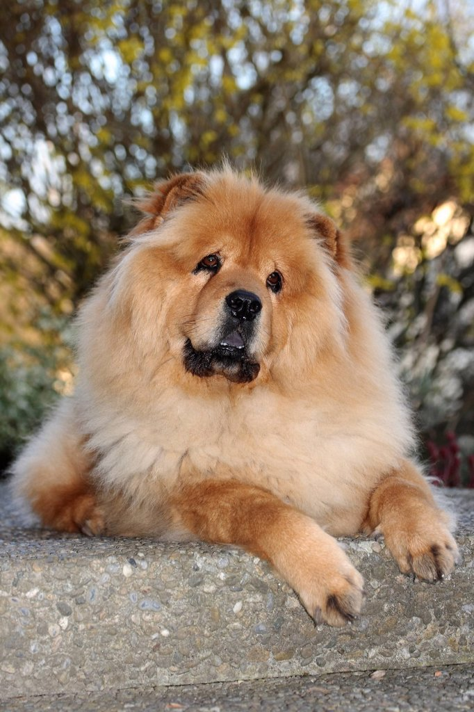 Stock Photo: 1848R-513852 Chow Chow, male dog, portrait, attentive look