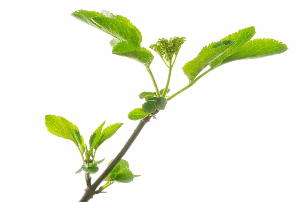 Branch, Elder, Elderberry, Black Elder Sambucus nigra : Stock Photo