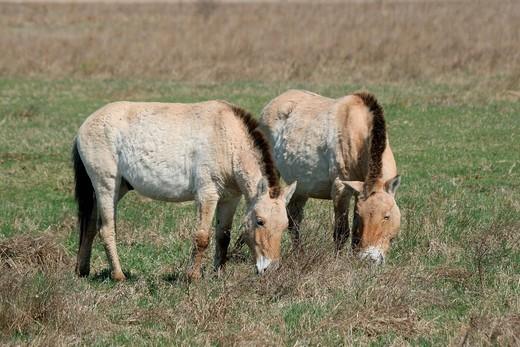 Przewalski´s horses Equus ferus przewalskii, Burgenland, Austria, Europe : Stock Photo