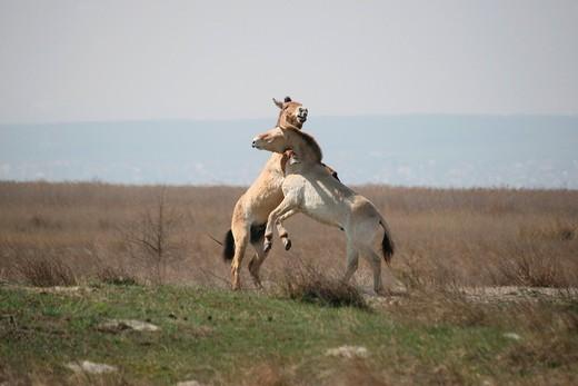 Stock Photo: 1848R-513905 Przewalski´s horses Equus ferus przewalskii, playing young stallions, Burgenland, Austria, Europe