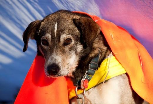Resting sled dog, Alaskan Husky, blanket, Dawson City, Yukon Quest 1, 000_mile International Sled Dog Race 2010, Yukon Territory, Canada : Stock Photo
