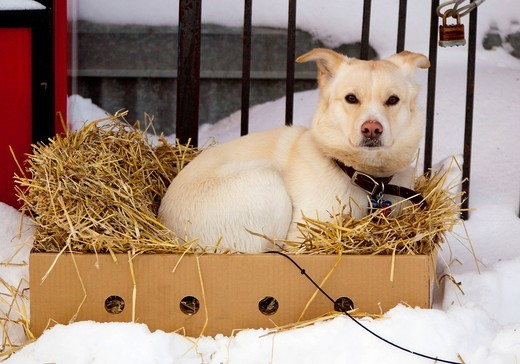 Resting young sled dog, puppy, Alaskan Husky, in a cardboard box with straw, Dawson City, Yukon Territory, Canada : Stock Photo