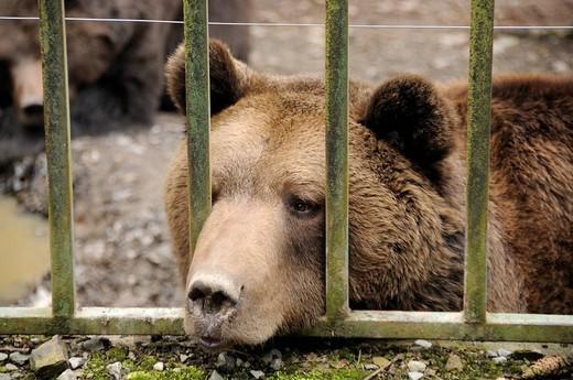 Stock Photo: 1848R-514039 Brown bear Ursus arctos in captivity