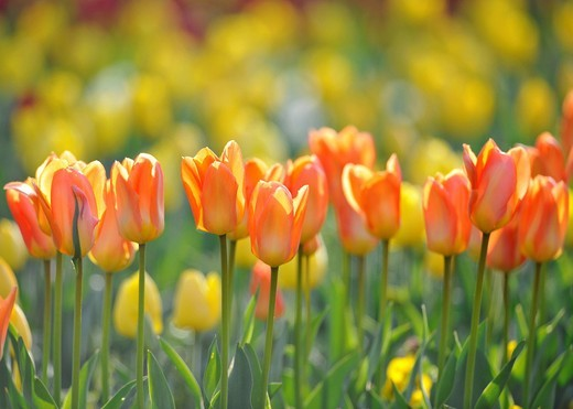 Stock Photo: 1848R-514184 Orange Tulips Tulipa