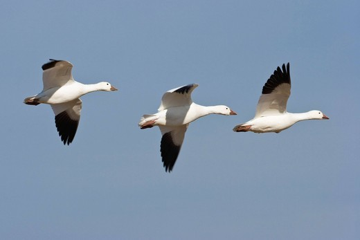 Stock Photo: 1848R-514242 Snow Geese Anser caerulescens atlanticus, Chen caerulescens flying, Bosque del Apache Wildlife Refuge, New Mexico, North America, USA