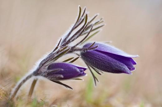 Common Pasque Flower Pulsatilla vulgaris, Anemone pulsatilla L., Gillesbachtal, Kalkeifel, Eifel, North Rhine_Westphalia, Germany, Europa : Stock Photo