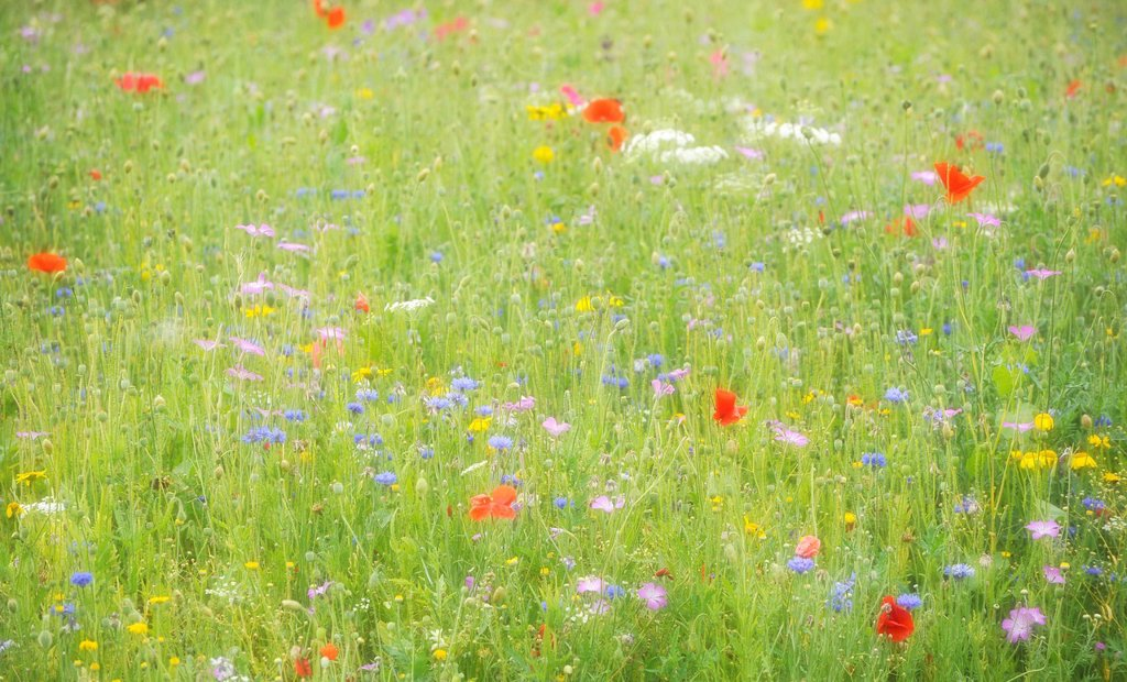 Stock Photo: 1848R-514588 Summer meadow with poppies Papaver rhoeas, cornflowers Centaurea cyanus, yarrow Achillea and yellow daisies Leucanthemum