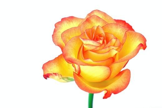 Stock Photo: 1848R-514695 Rose Rosa, high key lighting