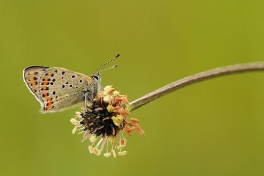 Sooty copper butterfly Lycaena tityrus : Stock Photo