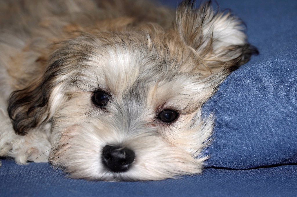 Stock Photo: 1848R-515136 Havanese puppy, 3 months