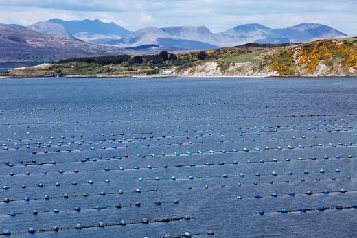 Shellfish farming in Kilmakilloge Harbour, Beara Peninsula, County Kerry, Ireland, British Isles, Europe : Stock Photo