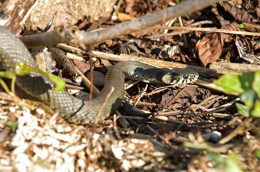 Stock Photo: 1848R-515443 Grass snake Natrix natrix
