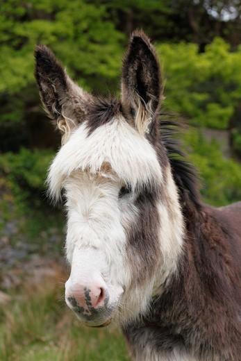 Donkey Equus asinus, portrait, Ireland, British Isles, Europe : Stock Photo