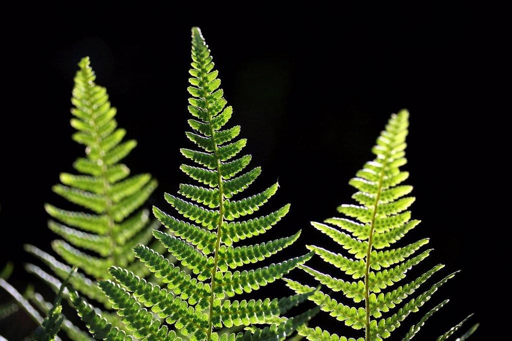 Fern fronds in backlight : Stock Photo