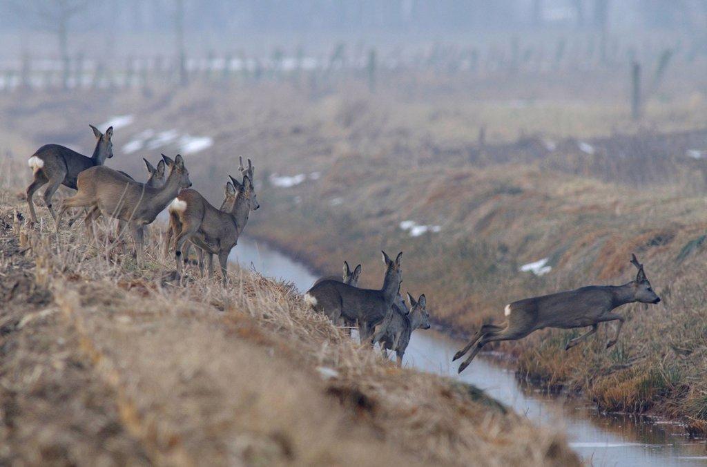 Deer Capreolus capreolus : Stock Photo