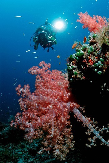 Scuba diver photographing a coral reef, Maldive Islands, Indian Ocean : Stock Photo