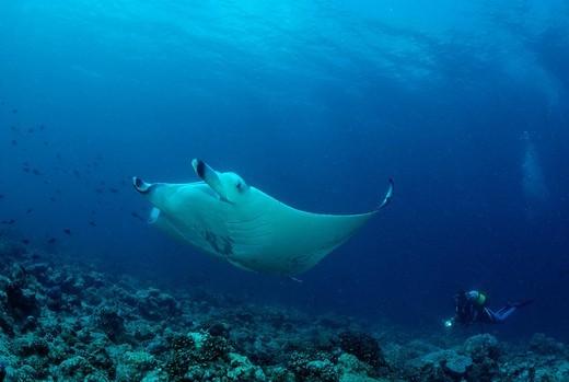 Manta Ray Manta birostris and a scuba diver, Maldives, Indian Ocean : Stock Photo
