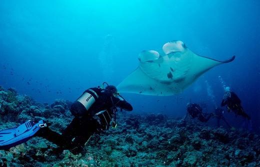 Manta Ray Manta birostris and a scuba diver, Maldive Islands, Indian Ocean : Stock Photo