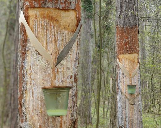 Stock Photo: 1848R-516452 Pitch trees, Hernstein, Triestingtal valley, Lower Austria, Austria, Europe