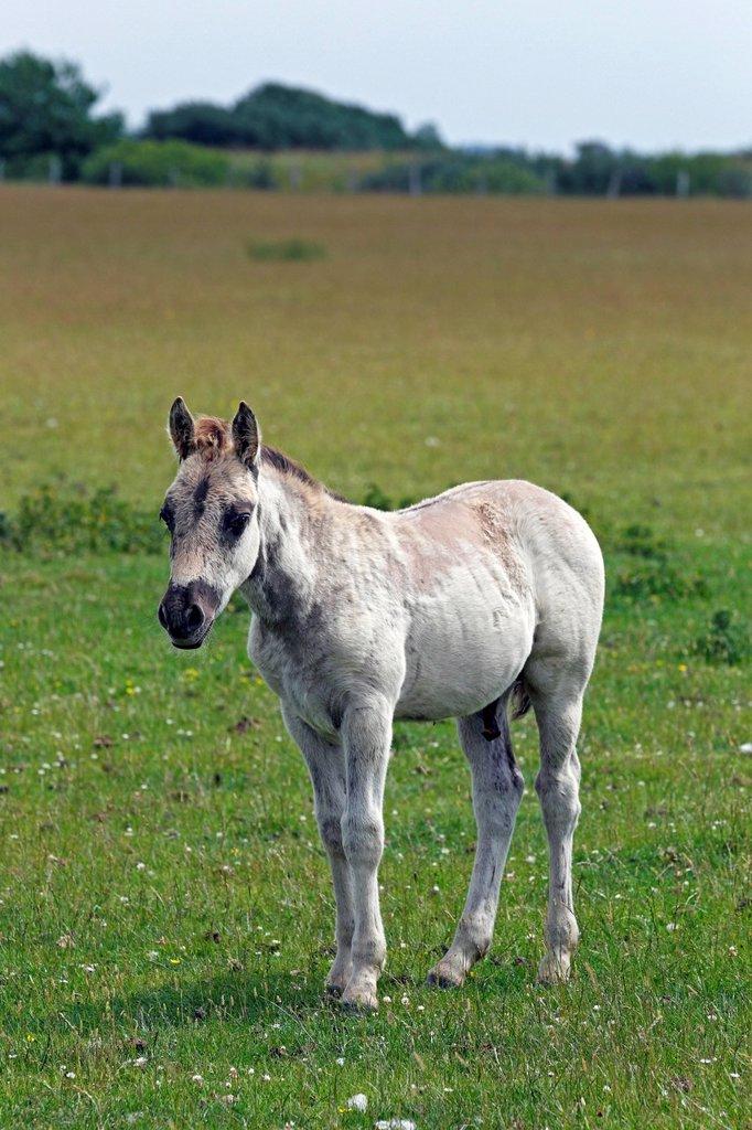Konik horse Equus przewalskii f. caballus, colt, tarpan or wild horse, backbreeding : Stock Photo
