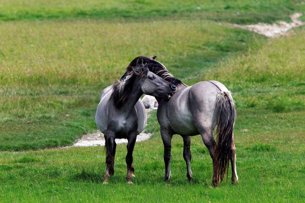 Konik horses Equus przewalskii f. caballus, mare and stallion, tarpan or wild horse, backbreeding : Stock Photo