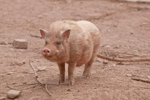 Mini pig, Wildpark Pforzheim zoo, Baden_Wuerttemberg, Germany, Europe : Stock Photo